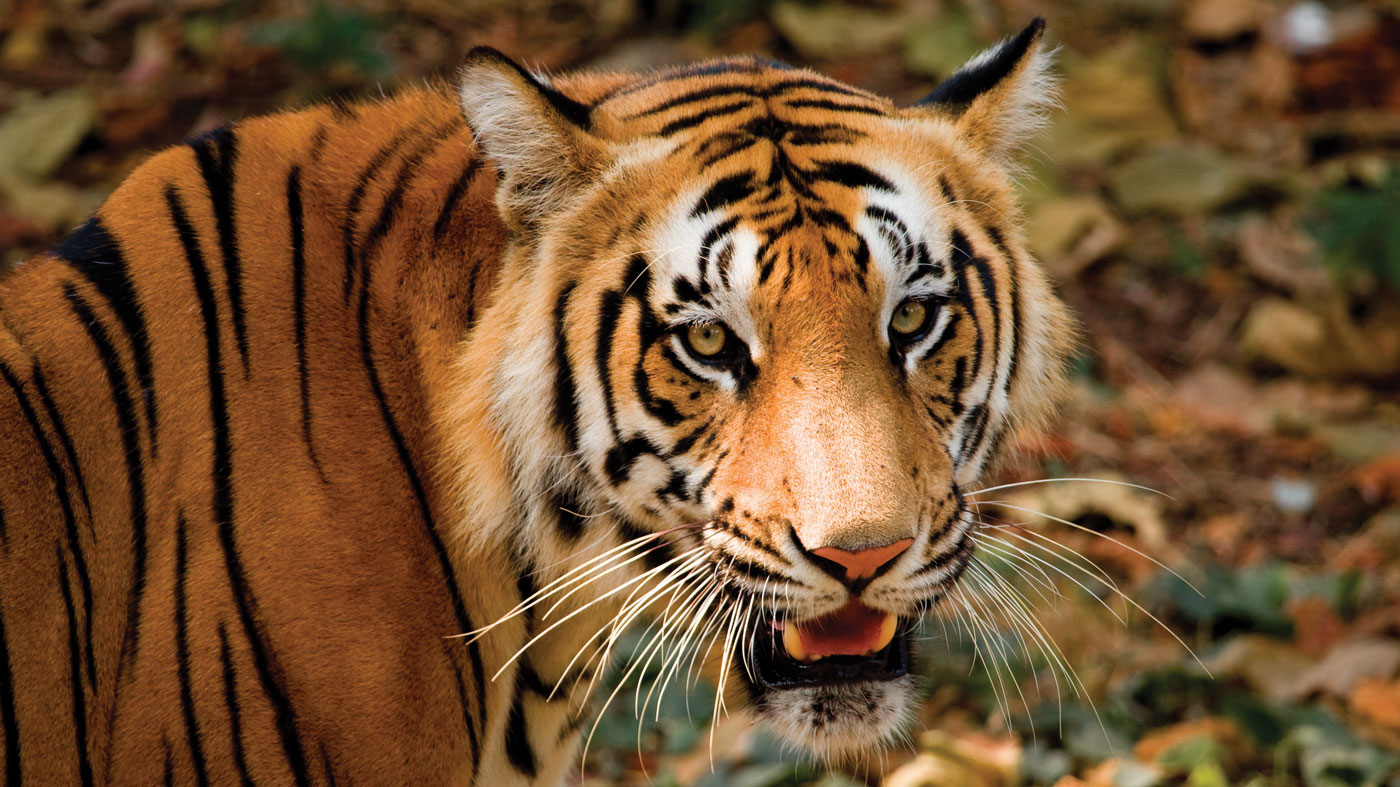 Micato Safaris tiger tour