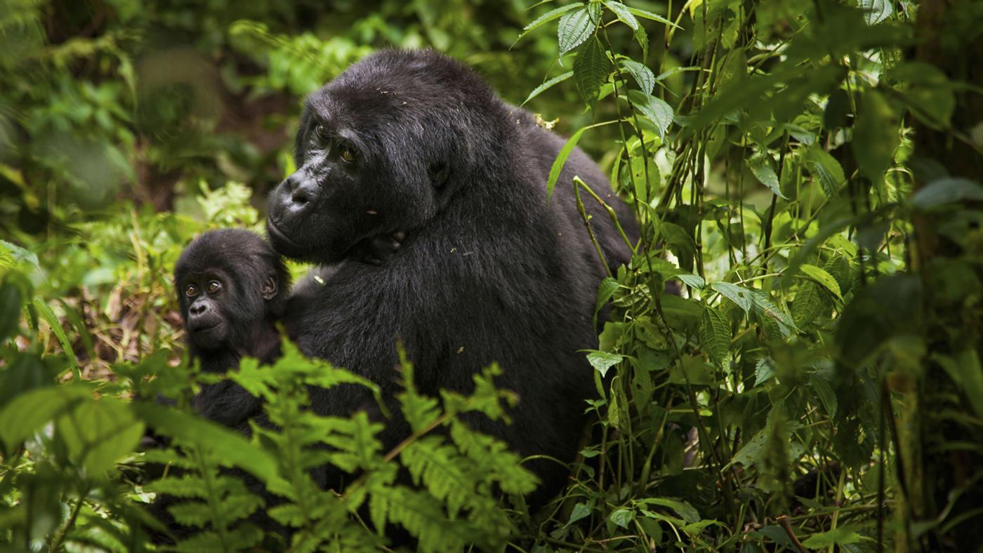 An image of mountain gorillas in Rwanda's Volcanoes National Park.