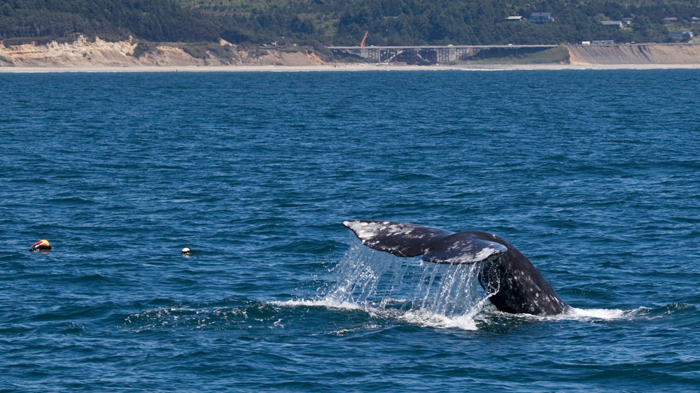 Gray whale tail cresting off the Oregon coast