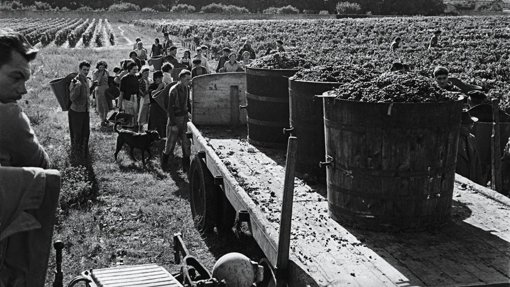 harvesting haut-brion in france