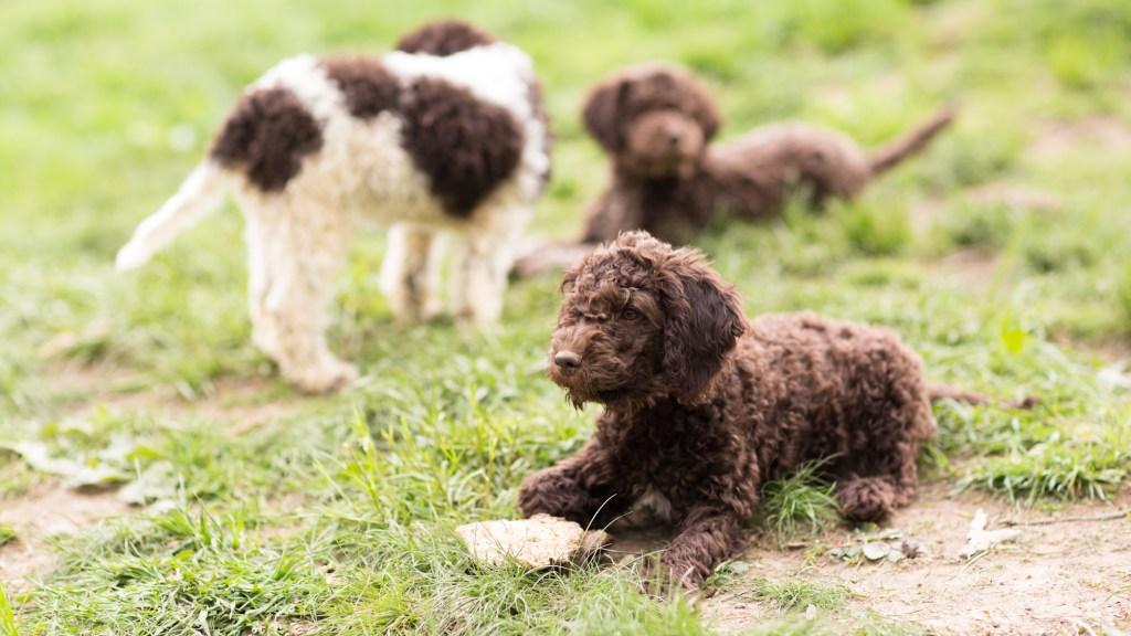 lagotto romagnolo dogs hunt truffles
