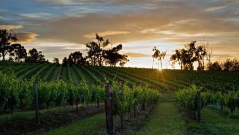 Yarra Yering Vineyard sunset