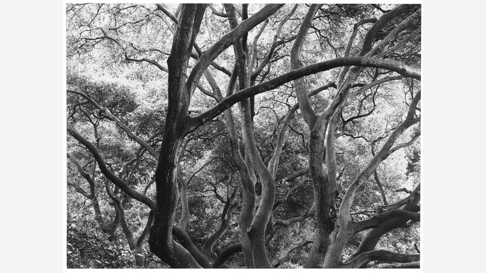 Dorothea Lange's Sunlit Oak (1957/65)