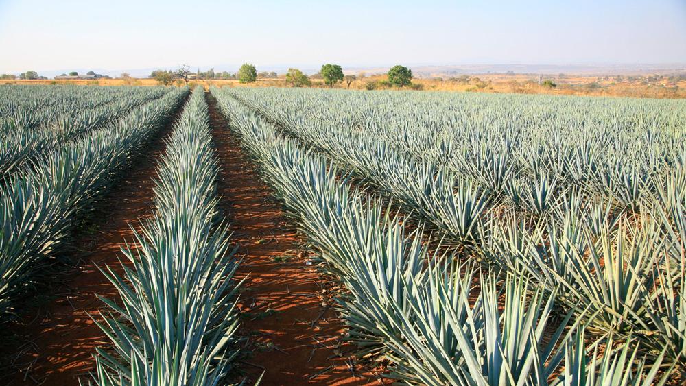 Grand Velas Agave fields