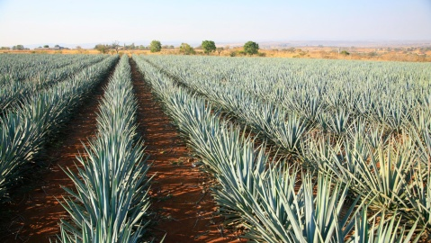 Grand Velas Agave fields