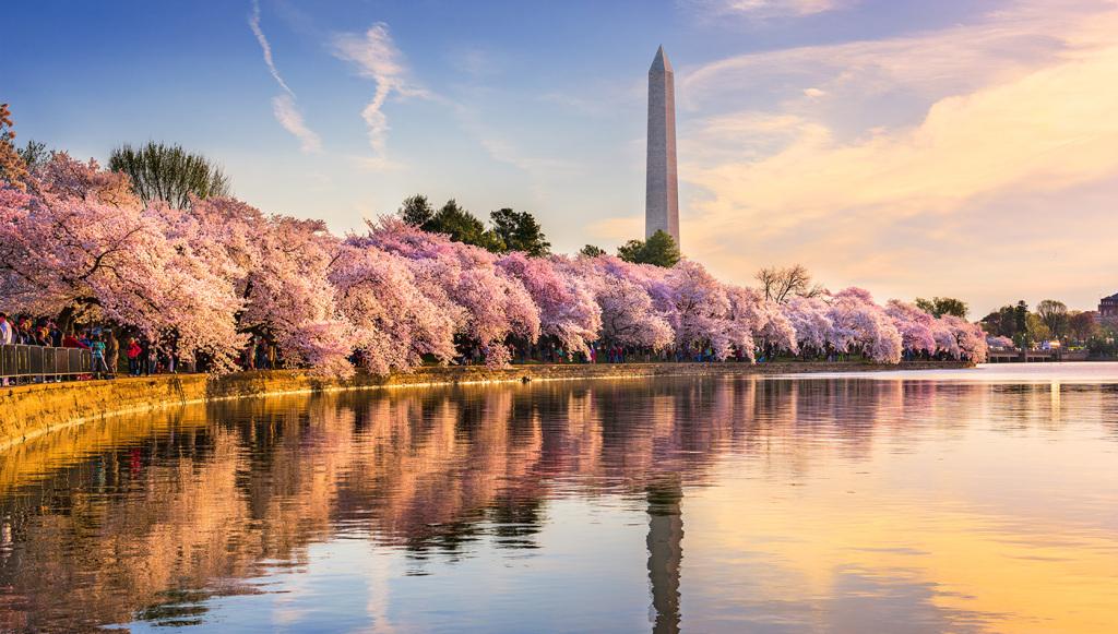 cherry blossoms washington d.c.