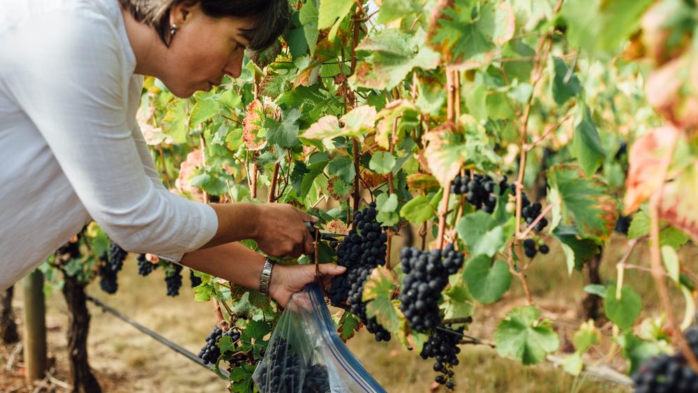 Lavinea Wine