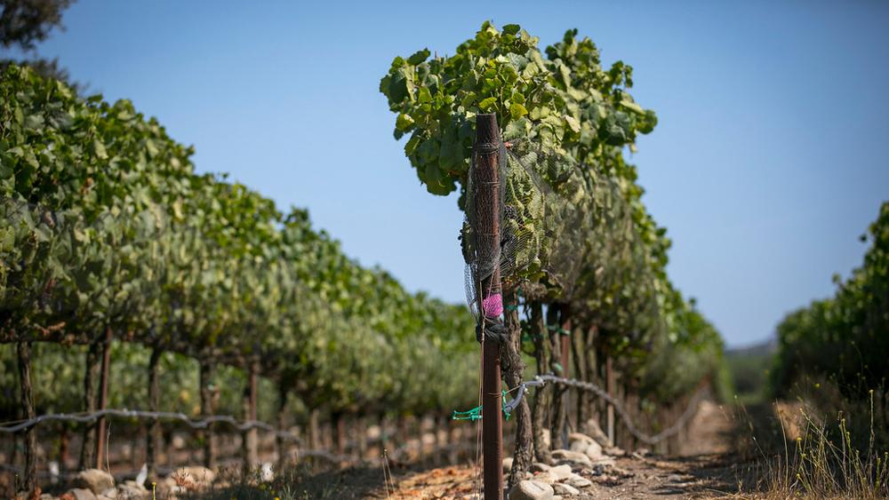 Clarice Vineyards