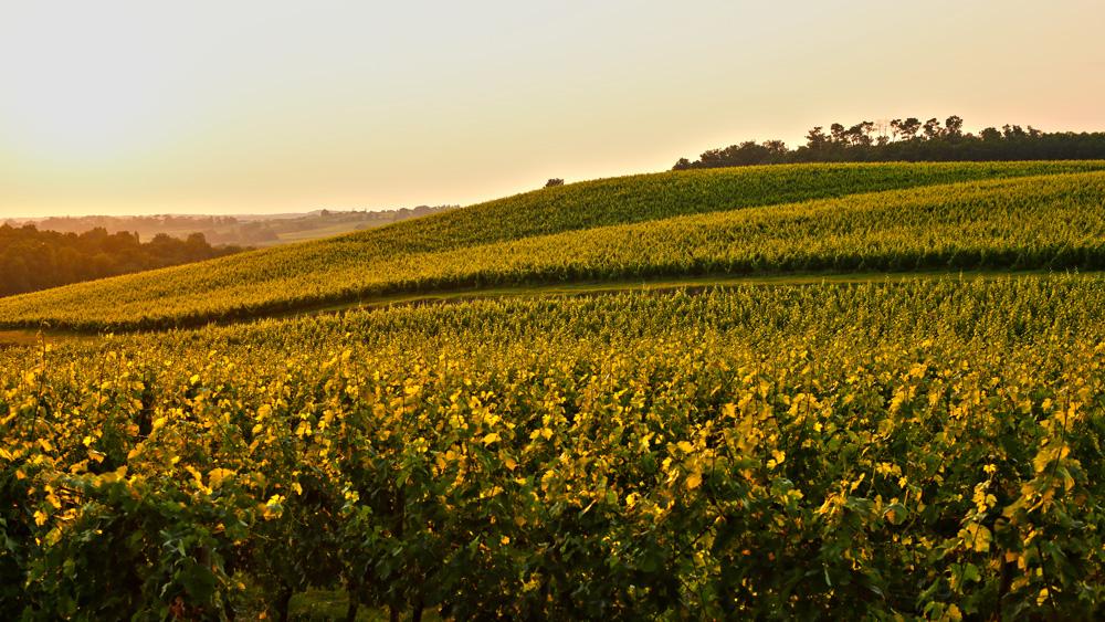 France Bordeaux Vineyard