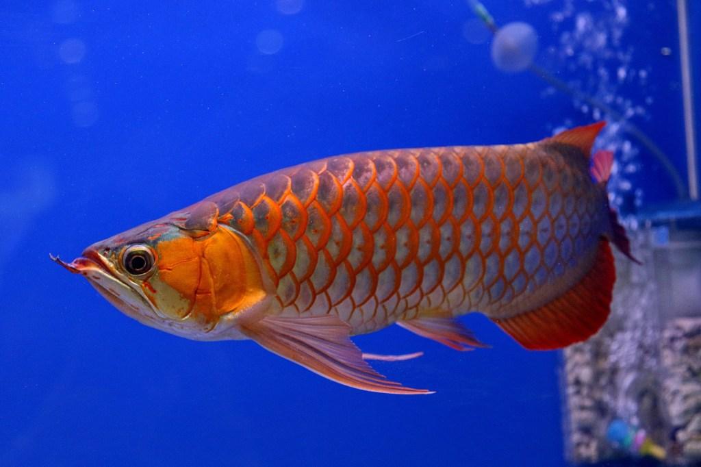 The Asian Arowona dragon fish