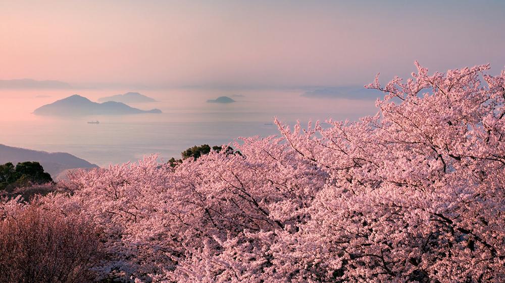 cherry blossoms Japan Setouchi