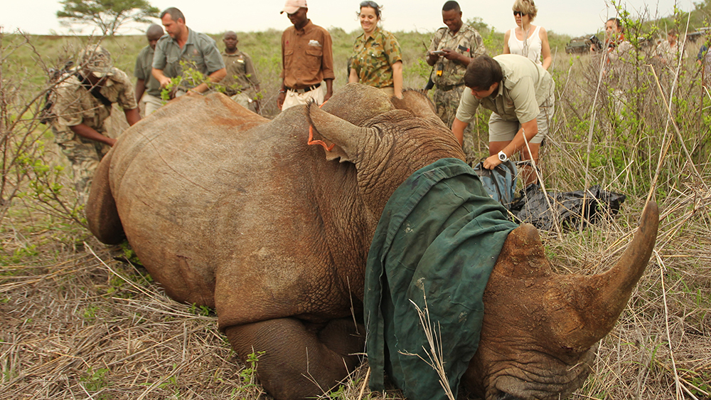 Tracking and darting rhinos with Thanda Safaris Ulwazi Research & Volunteer Program