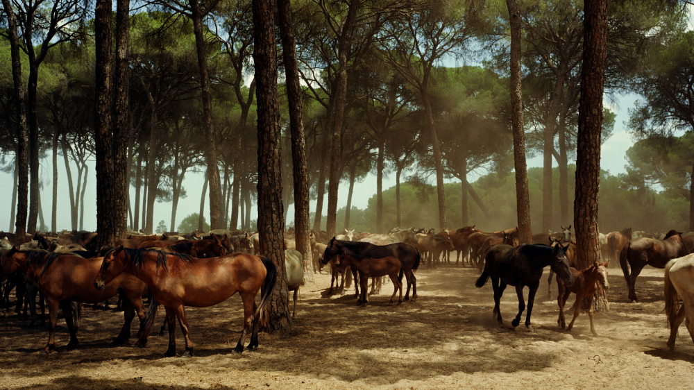 Marismeño horses herded into a clearing in Andalusia's Doñana National Park.
