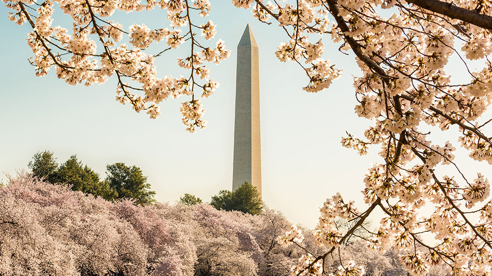 The Washington Monument cherry blossoms Washington DC