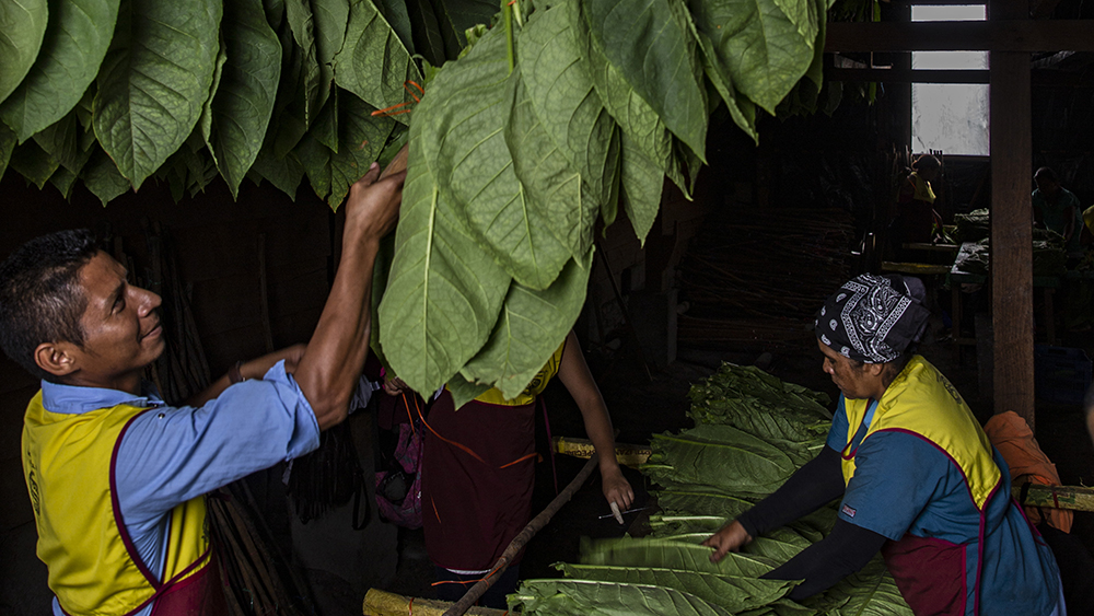 The workers hanging the tobacco leaves at the Cigar Padron factory Nicaragua