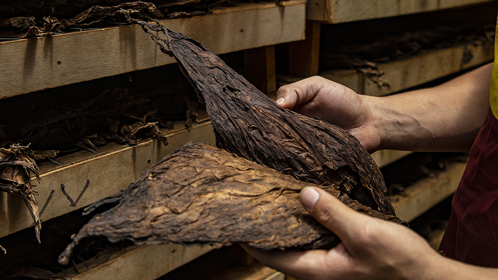 The stacks of dried tobacco leaves at the Cigar Padron factory Nicaragua