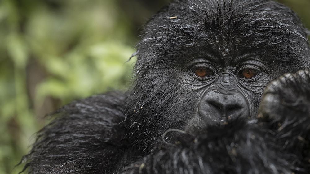 A mountain gorilla from the Virunga Massif