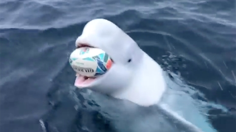 A beluga whale playing rugby in the South Pole