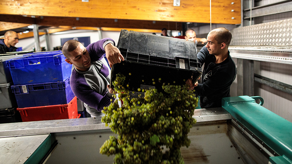 HAMBLEDON, ENGLAND - OCTOBER 03: Migrant Workers tip crates of Chardonnay grapes in to a press during the harvest at Hambledon Vineyard on October 3, 2018 in Hambledon, United Kingdom. Around 80 predominantly Eastern European workers have been brought in at Hambledon to pick a bumper crop of 250 tonnes of grapes this season, following a long and warm summer. As Brexit looms there is uncertainty for the British wine industry with much of the manufacturing equipment and labour currently imported from other European countries. (Photo by Jack Taylor/Getty Images)
