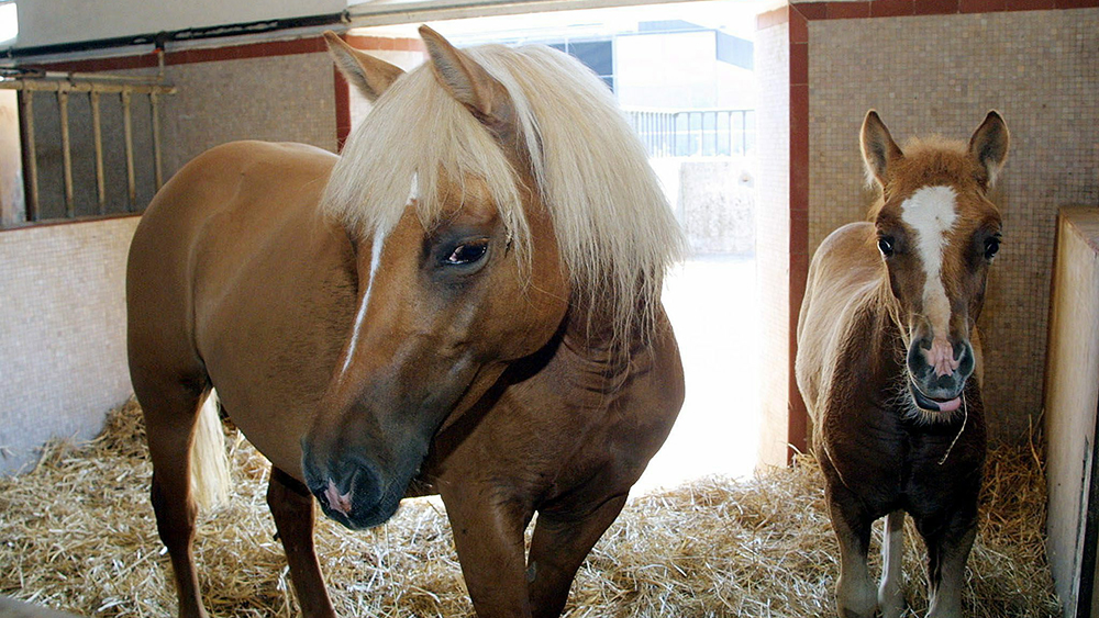 Prometea, the first cloned horse, in Italy