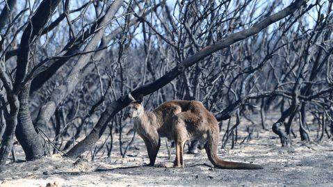 A kangaroo seen in the Australian bushfires