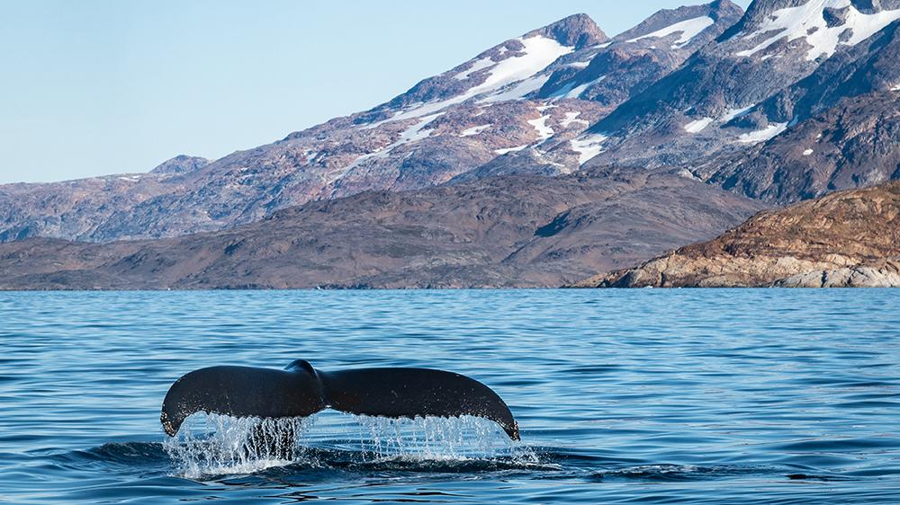 humpback whale Greenland
