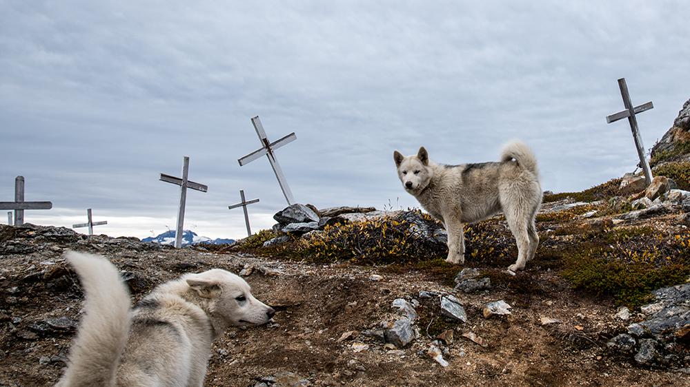 sled dogs Tiniteqilaaq