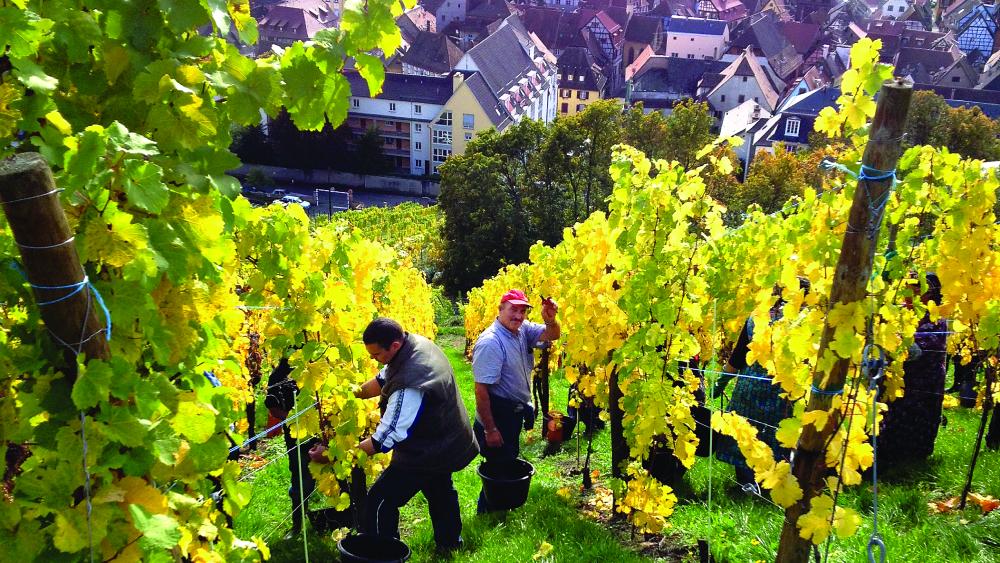 Maison Trimbach vineyard