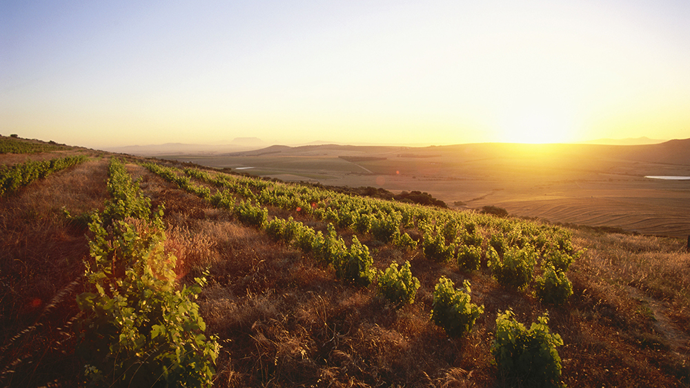 View over vineyards of the Observatory Wine Cellar at sunset, Malmesbury, Swartland, Western Cape, South Africa, Africa