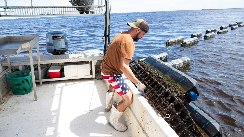 oysterman harvesting cages florida