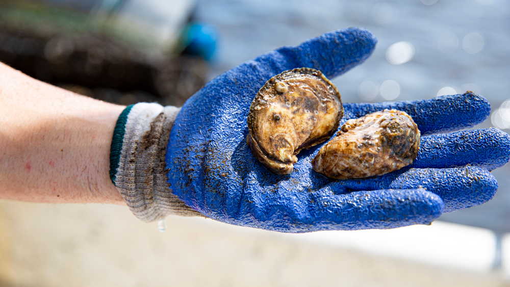 farmed florida oysters