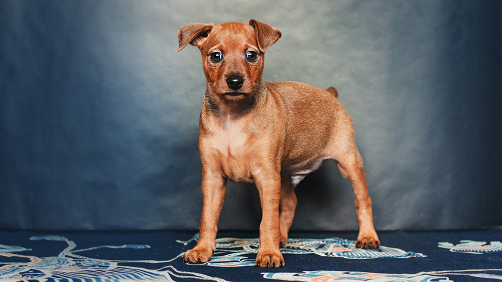 Miniature pinscher puppy with docked tail