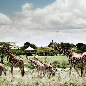 work from here kenya giraffes