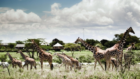 work from here kenya giraffes