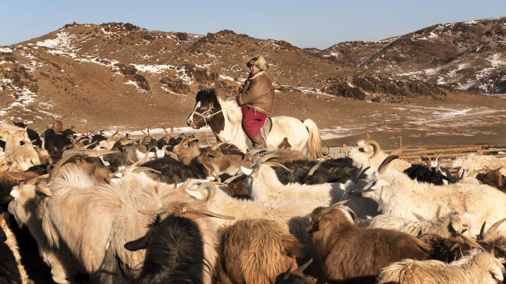 cashmere herding mongolia