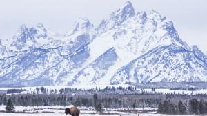 Winter Bison at Grand Teton