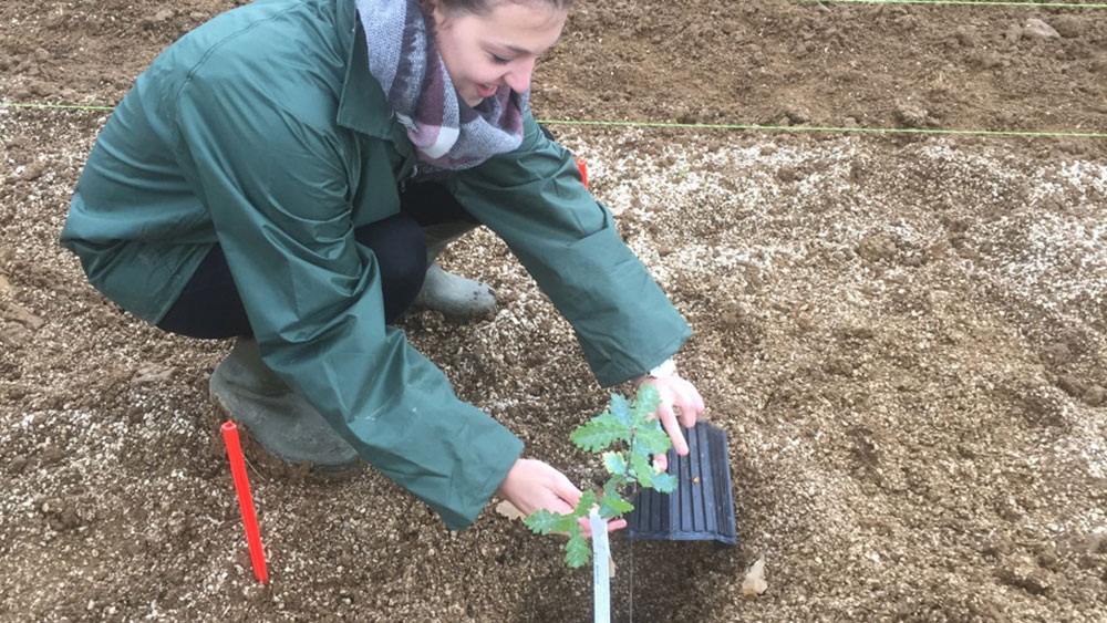 Flora Todesco (CEO WETRUF) planting a young truffle inoculated seedling