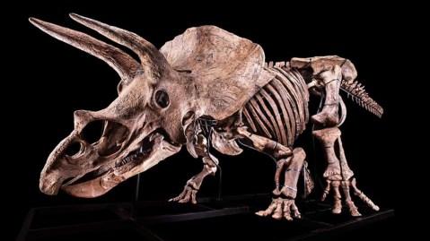 Big John, the world's biggest triceratops skeleton